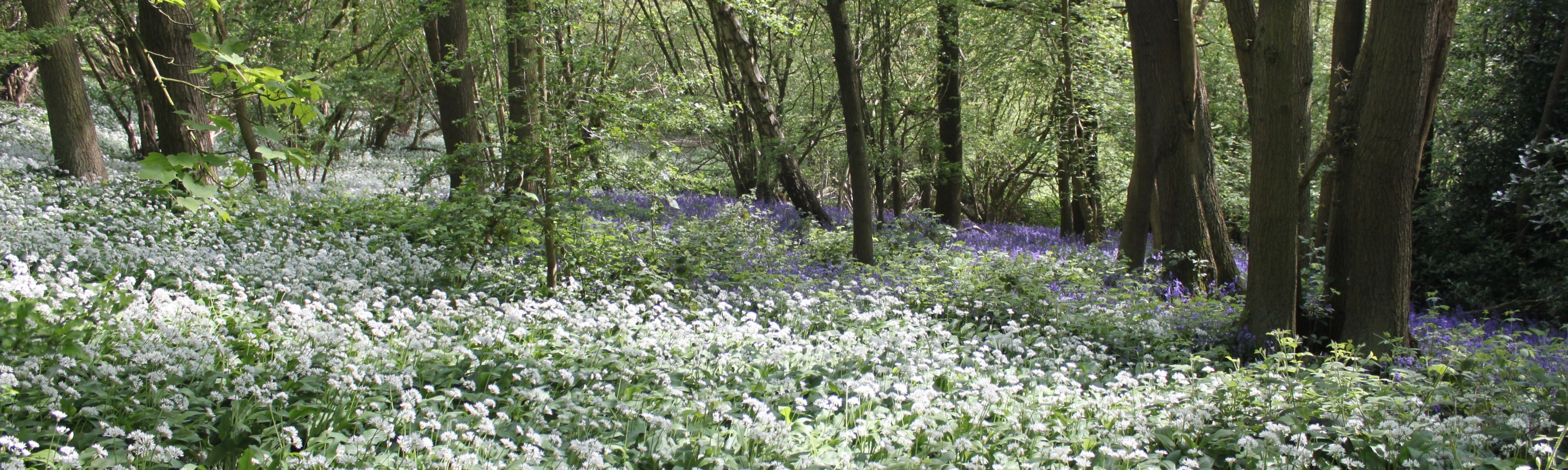Wild garlic in full bloom in Crich Chase by Geoff Brown