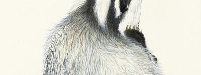 painting of a badger having a scratch by Irene Brierton